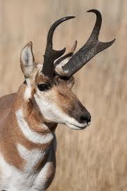 antelope rro1