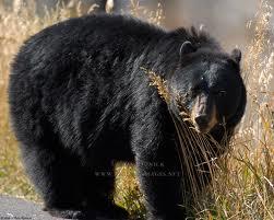 black bear rro